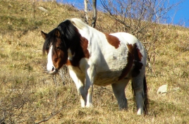 cavallo-2
